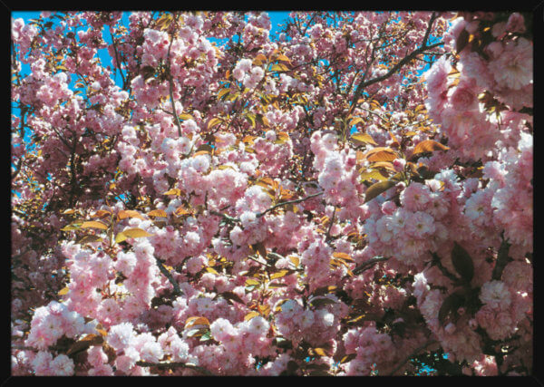 A cherry blossom tree in full boom seen against a blue sky, filmed by Aune Sand. Print of a photograph in a black frame.